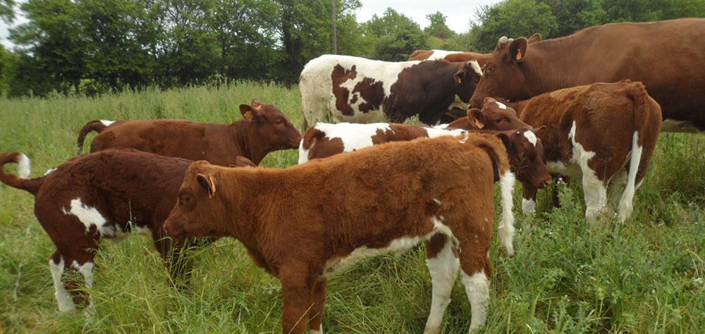 Les vaches de votre éleveur à Champ-sur-Layon