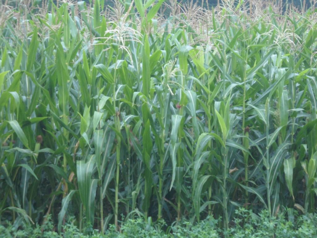 maïs sorgho