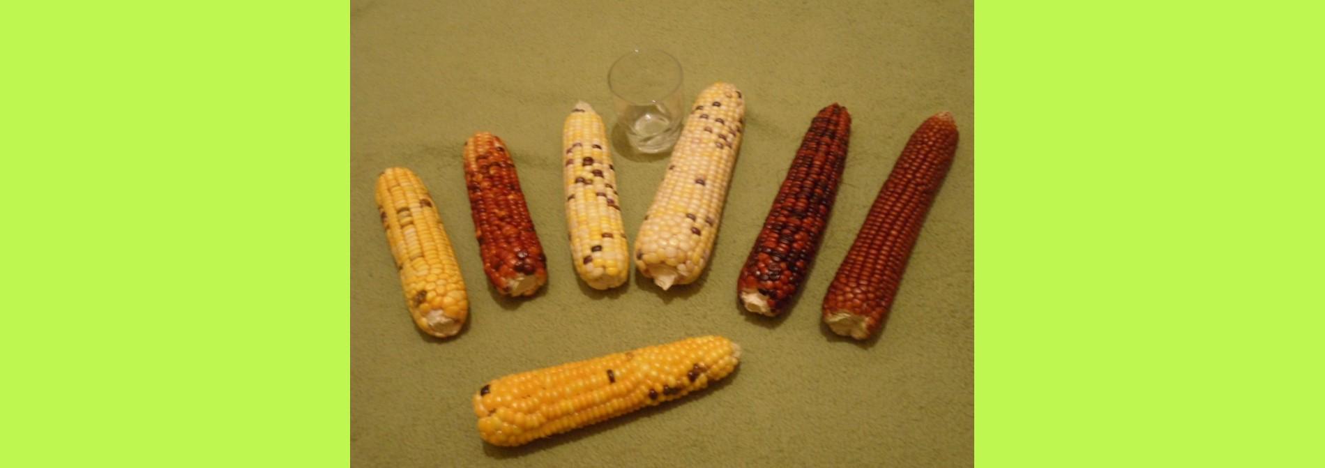mas grain non hybride