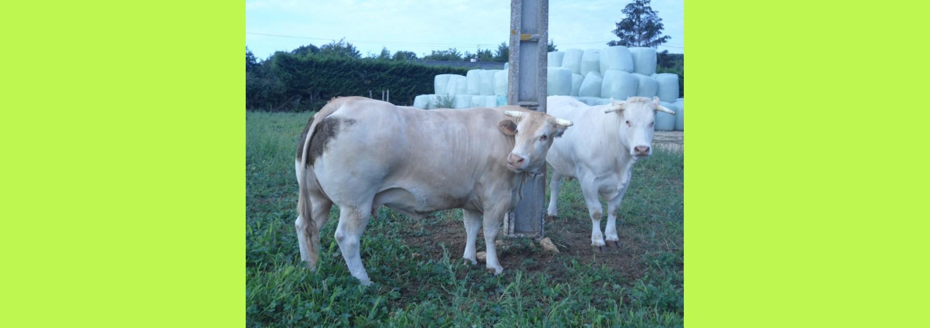 vache et boeuf